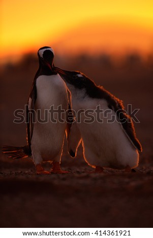Feeding scene in the orange sunset. Young gentoo penguin beging food beside adult gentoo penguin. Young gentoo with parent. Open penguin bill. Young with adult. Penguins in the nature. Antarctica - stock photo