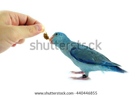 Feeding some millet to Pacific Parrotlet, Forpus coelestis on white background - stock photo