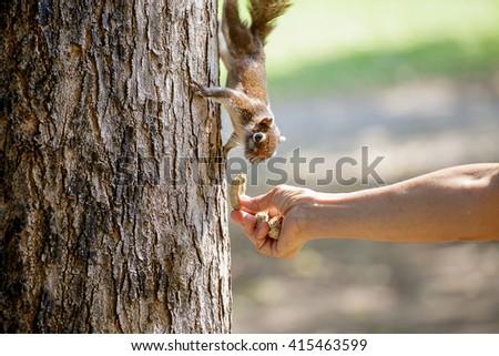 Feeding squirrel in a tree. - stock photo