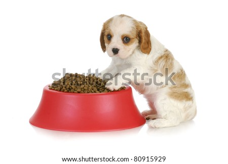 feeding the dog - cavalier king charles spaniel sitting with full dog food bowl - stock photo