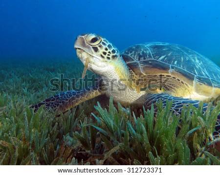 Feeding time for green sea turtle  - stock photo