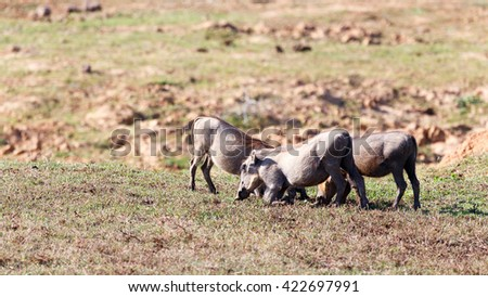 Feeding Time - Phacochoerus africanus - The common warthog is a wild member of the pig family found in grassland, savanna, and woodland in sub-Saharan Africa. - stock photo