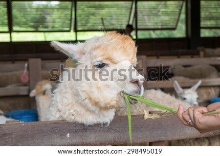 Feeding to Alpaca