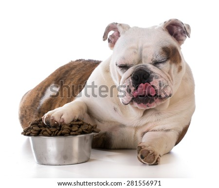 feeding your pet - bulldog puppy laying with pay in dog bowl - stock photo