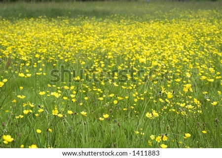 Feild full of yellow buttercups