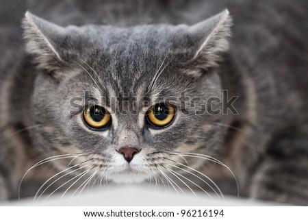 Feline animal pet british domestic cat looking eye - stock photo