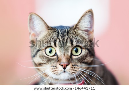 Feline animal pet little british domestic cat curious face with yellow looking eyes - stock photo