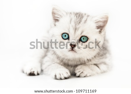 Feline animal pet little british domestic silver tabby cat with blue looking eyes - stock photo