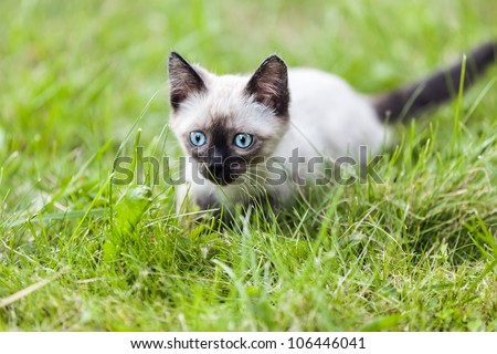 Feline animal pet siamese domestic cat walking outdoor on green grass - stock photo