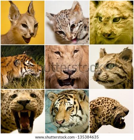 feline animals collage - stock photo