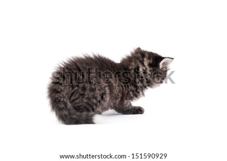 Feline kitten on white background