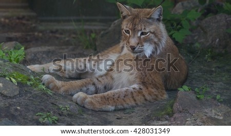 Felis lynx, Lynx lynx, Eurasian Lynx, - stock photo