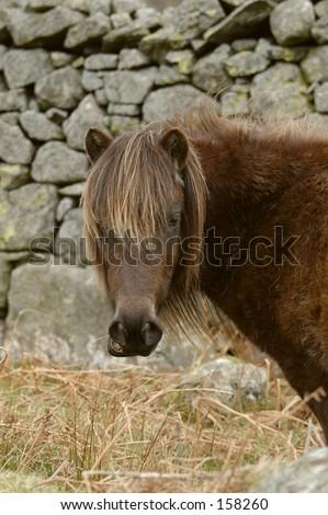Fell Pony - stock photo