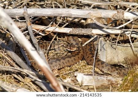 female adder ( Vipera berus ) basking amongst twigs - stock photo