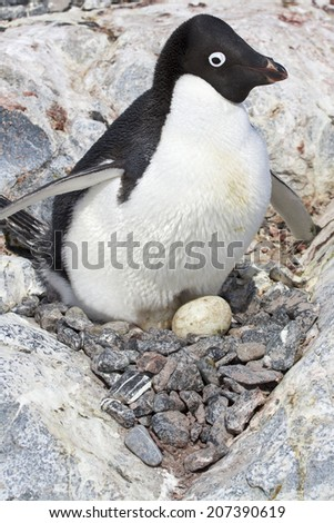 female Adelie penguin sitting on eggs in the nest among the rocks - stock photo
