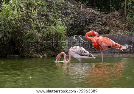 Female adult and small juvenile flamingo - stock photo