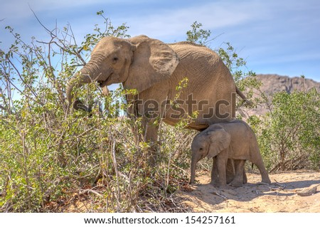 Female african desert elephant with juvenile in Hoanib river area in Namibia - Desert dwelling elephants are uniquely adopted to extremely dry and sandy conditions.   - stock photo