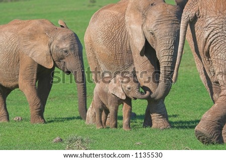 Female African Elephant showing affection with her trunk  towards baby elephant - stock photo