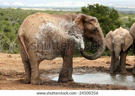 Female African elephant spraying water to cool down - stock photo
