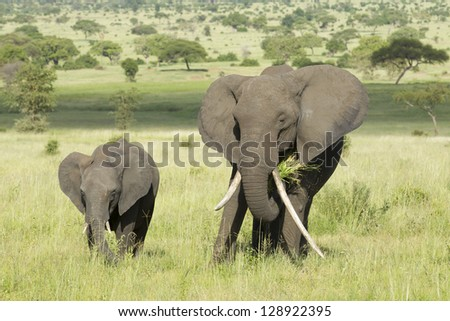 Female African Elephant with long tusk (Loxodonta africana) with a baby in Tarangire National Park, Tanzania - stock photo