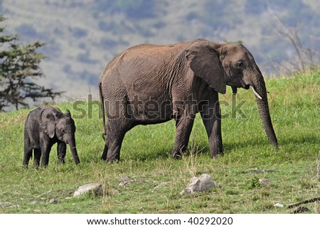 Female African elephant with young browsing on the grasses and scrubs in the hillsides of the Serengeti National park in Tanzania.