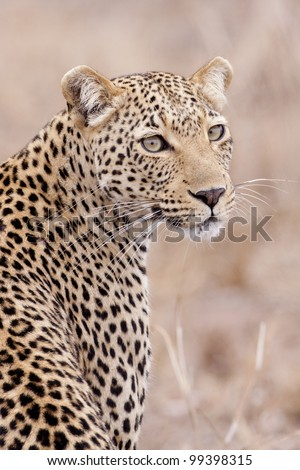 Female African Leopard (Panthera pardus), South Africa - stock photo