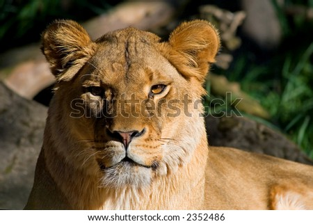 Female African Lion close-up
