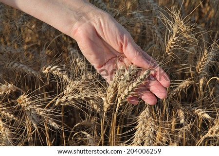 Female agronomist hand holding wheat crop