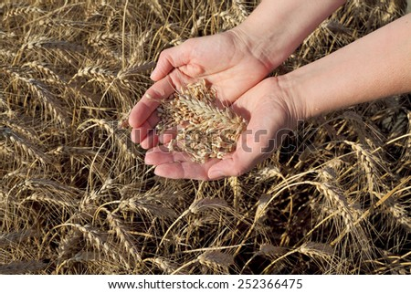 Female agronomist or farmer hands holding wheat crop in field - stock photo