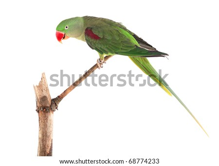 Female Alexandrine Parakeet on Perch