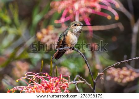 Female Allen's Hummingbird with Grevillea Flowers - stock photo