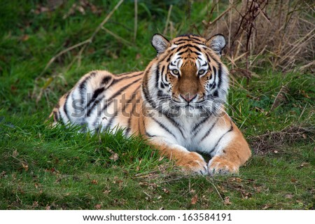 Female Amur Tiger resting in green grass/Amur Tiger/Amur Tiger - stock photo