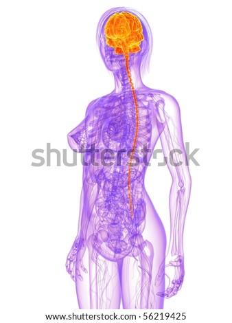 female anatomy - brain - stock photo