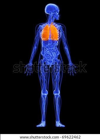 female anatomy - lung - stock photo