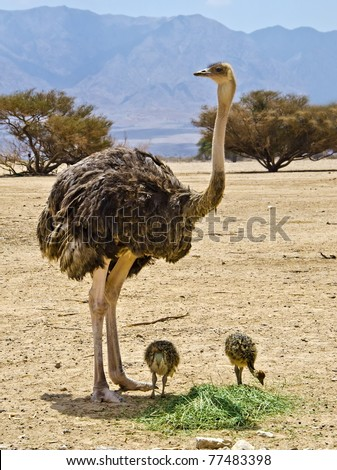 Female and babies of African ostrich in Hai-Bar Yotvata nature reserve, 25 km from Eilat, Israel