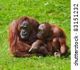 Female and baby of Bornean Orangutan at Dublin Zoo. - stock photo