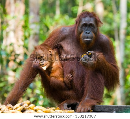 Female and baby orangutan eating fruit. Indonesia. The island of Kalimantan (Borneo). An excellent illustration.