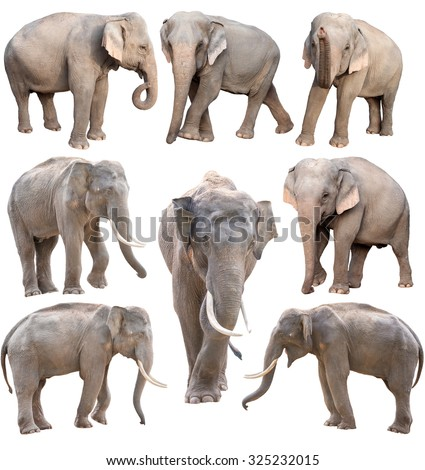 female and male asia elephant isolated on white background