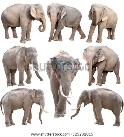 female and male asia elephant isolated on white background - stock photo
