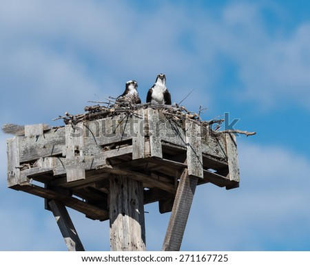 Female and Male Osprey Sitting on Nest on Blue Sky - stock photo