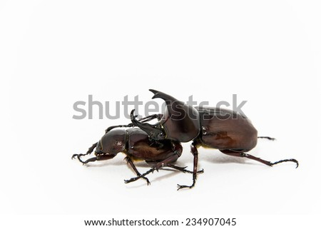 female and male stag beetles mating - stock photo
