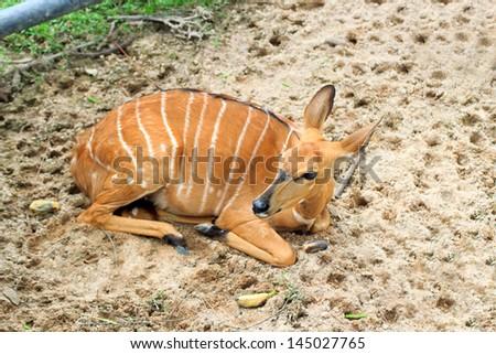 Female Antelope in open Zoo Khao Kheow, Thailand. - stock photo