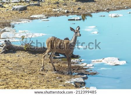 Female antelope Kudu (Tragelaphus strepsiceros) at the waterhole in Etosha National Park - Namibia, South-West Africa - stock photo