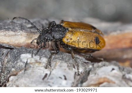 Female Apalus bimaculatus, this beetle needs mining bees to survive and is found in early springtime, this beautiful insect is endangered in Sweden  - stock photo