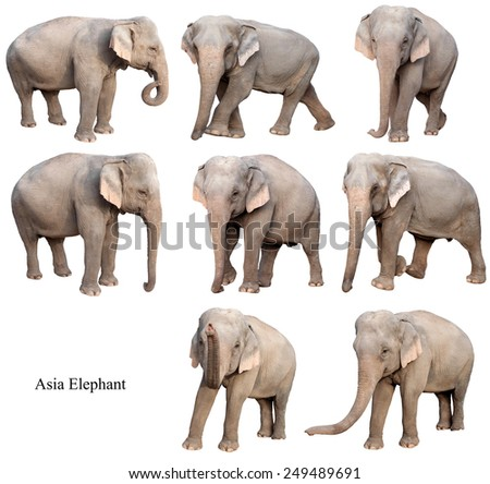 female asia elephant isolated on white background collection
