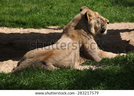 Female Asiatic lion (Panthera leo persica), also known as the Indian lion. - stock photo