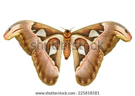 Female attacus atlas moth on white background - stock photo
