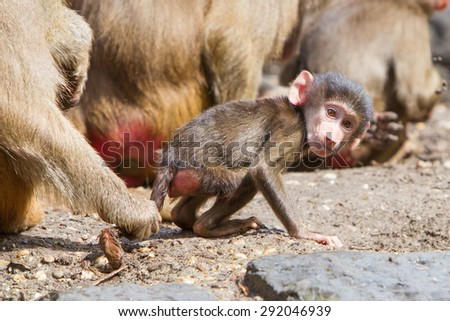 Female baboon with a young baboon in their natural habitat - stock photo