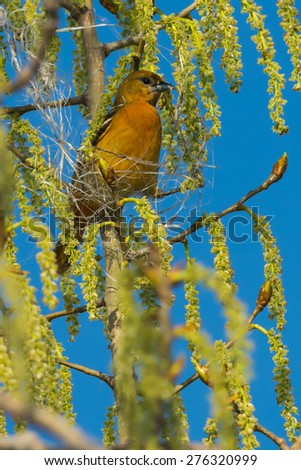 Female Baltimore Oriole perched high in a tree starting to build her nest. - stock photo