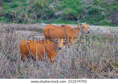 Female Banteng(Bos javanicus ) who was in Red List of Threatened Species in Endangered species in nature at Wildlife Sanctuary,Thailand  - stock photo